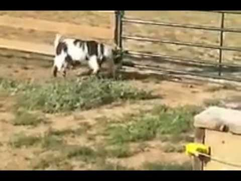 Fainting Goats + Electric Fence