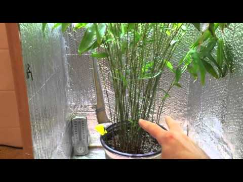 Giant Moso Bamboo Doovi