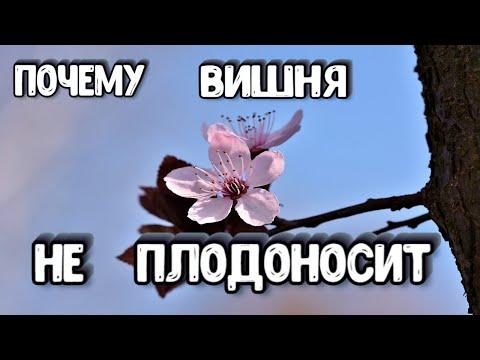 Почему Вишня Цветет но НЕ ПЛОДОНОСИТ - Что Делать Если Давно Не Плодоносит Вишня | плодоносит | цветет | почему | плодов | огород | делать | давно | вишня | дает | что