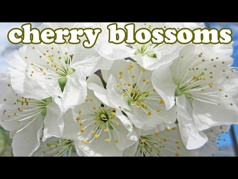 Cherry Blossom Tree - Cherries White Flower Blossoms - Flowe