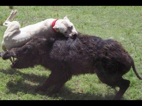 Top Ten Hog Hunting Fails: Graphic!!!