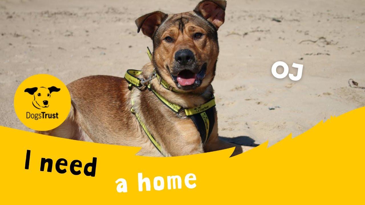 OJ the handsome Crossbreed   Dogs Trust Darlington