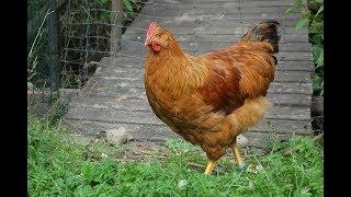 New Hampshire kogut kohout rooster