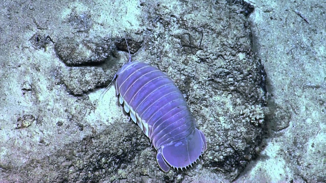 Giant Purple Isopod Nautilus Live Youtube