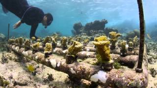 Rehabilitating Reefs - Planting Coral : MesoAmerican Reef Leadership Program - Part Two thumbnail