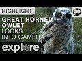 Owlet Investigates the Explore Live Cam - Great-horned Owl - Live Cam Highlight