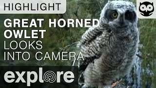 Owlet Investigates the Explore Live Cam - Great-horned Owl - Live Cam Highlight thumbnail