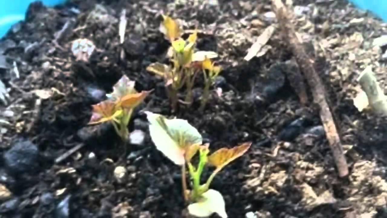 Faire pousser des patates douces en pot youtube - Faire pousser des endives dans l eau ...