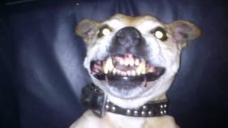 Engelse Staffordshire Bull Terrier.mp4