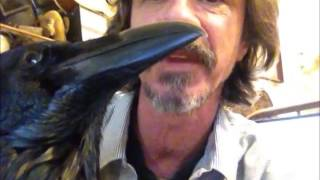Pet Raven, Love Is Not Enough..........peter Caine Animal Training