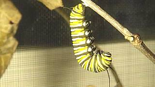 Metamorphosis: Life Cycle Of The Monarch Butterfly
