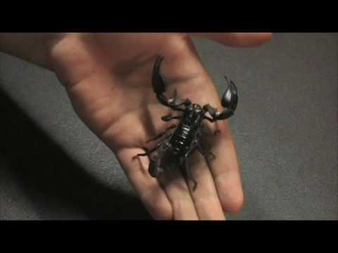 Heterometrus longimanus, The Asian Forest Scorpion