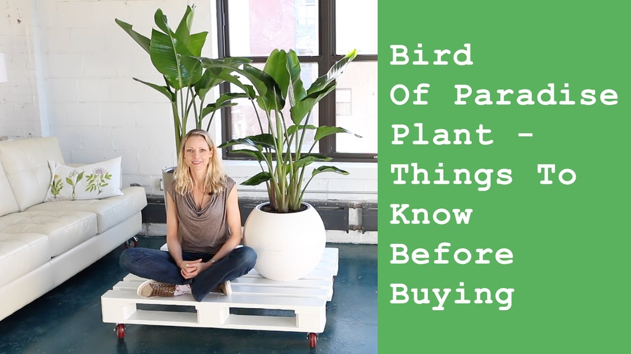 Bird Of Paradise Indoor Plant Things To Know Before Buying Youtube