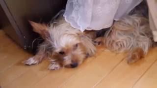 我が家のヨークシャーテリア Yorkshire Terrier.