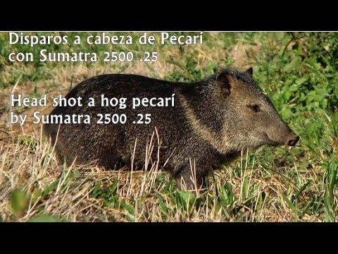 Penetración cabeza de Chancho Pecarí (Sumatra 2500 .25)