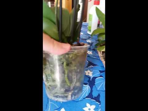 Лаванда: выращивание. Лаванда из семян, в горшке, дома, в