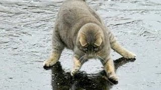 Download You will LAUGH SO HARD that YOU WILL FAINT - FUNNY CAT compilation Mp3 and Videos