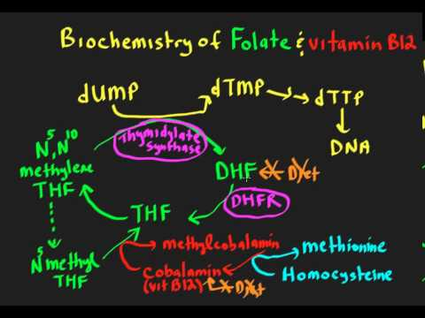 folate/vitamin b12 interrelationships essays in biochemistry