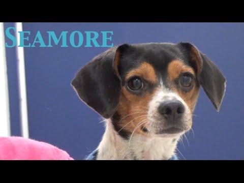 Seamore- Beagle/Terrier