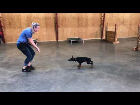 "Super Doberman Puppy ""Glitz"" 12 Wks Early Obedience Training For Sale W/Additional Training"