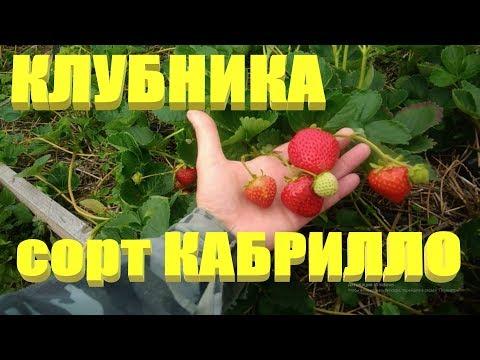 КЛУБНИКА СОРТА.Ремонтантный сорт клубники КАБРИЛЛО