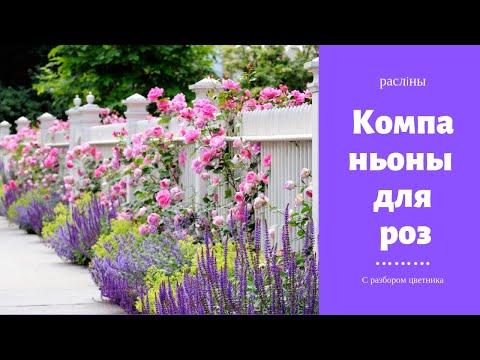 Вопрос: Какие растения желательно не сажать рядом с розами?