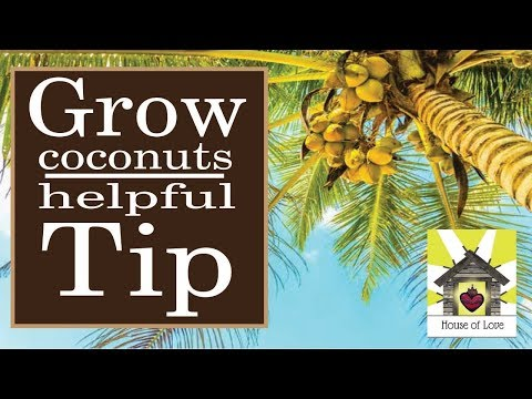 Helpful Tip if your Coconut palm isn't producing-Produce lots of Coconuts!!