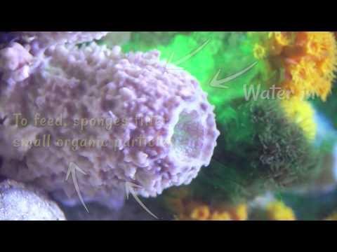 S.E.A. Aquarium: How Do Sponges Feed?