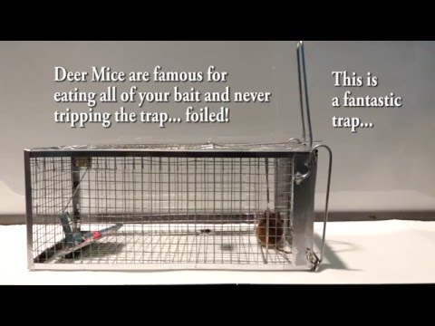 The Best Mouse Trap I Could Find Anywhere. No Stolen Bait! Outsmart Mice Finally! Review Test