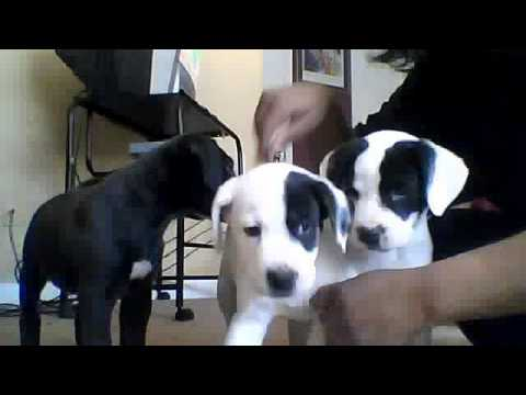 Akita & Pit Mix Puppies 4 SALE BUY 1 2ND DOG IS FREE