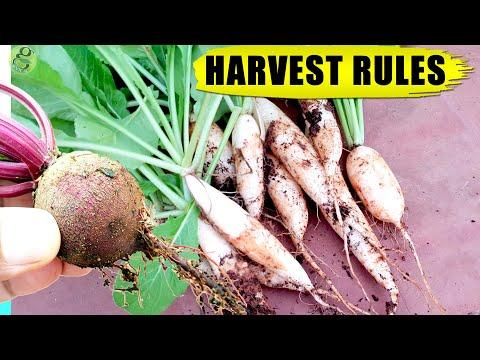10 HACKS / TIPS: WHEN TO HARVEST VEGETABLES (Root Crops)   Vegetable Gardening in Pots