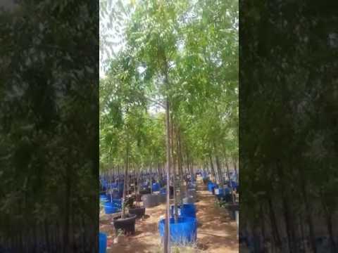Neem  tree  in Dubai  0526277568