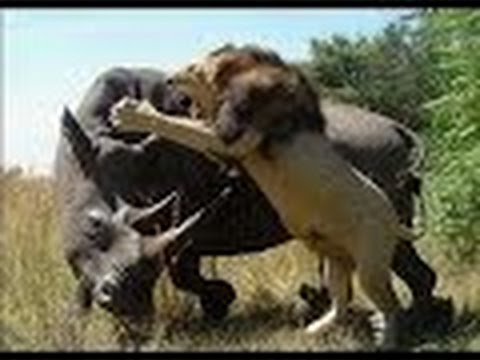 معارك شرسة بين وحيد القرن و الأسود - أضخم معارك الحيوانات