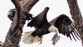 SWFL Eagles_M15 Brings Fish For Two & Eats Away With Friends~Mating 11-17-17 thumbnail