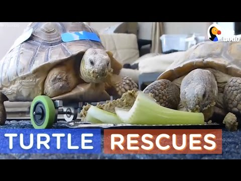 World Turtle Day 2017 | Turtle Rescue Compilation | The Dodo Daily