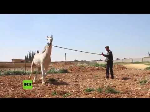 RT en Español: Rehabilitación equina: así se rescata a los caballos árabes de la guerra en Siria