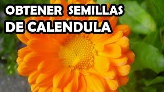 Como obtener semillas de Calendula