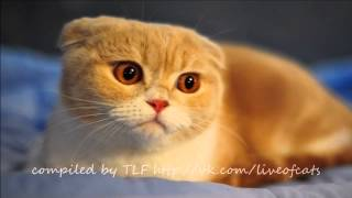 Шотландская вислоухая кошка, или скоттиш фолд (Scottish fold cat)