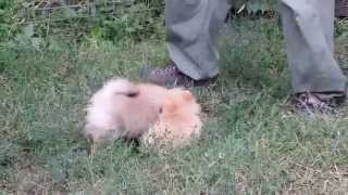 Pomeranian Puppies 3 Months, Impala Kennel, Romania