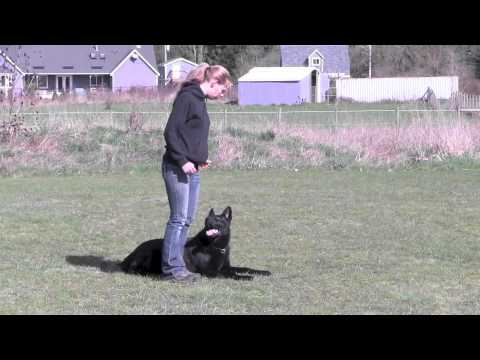 IPO3 Trained German Shepherd For Sale In Action - YouTube