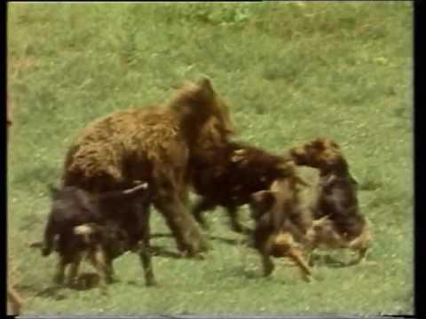 ALSA Film Romanian Carpathian brown bear