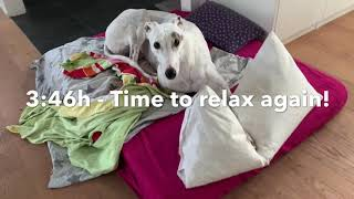 Just another day as a retired Greyhound