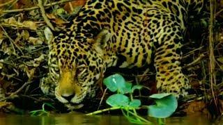 Jaguar Vs Caiman - Wildlife Documentary