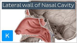 Lateral wall of nasal cavity: bones, cartilages and mucosa (preview) - Anatomy |Kenhub
