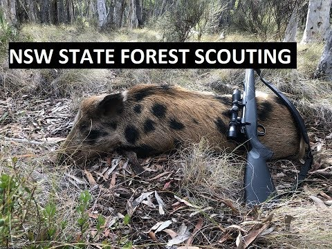 NSW State Forest Hunting - Scouting For Deer And Getting Pigs