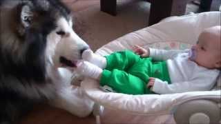 赤ちゃんを見守る大型犬