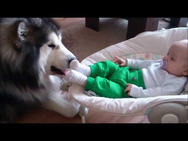Alaskan Malamute Evo Babysitting (Cute Baby with Cute Dog)
