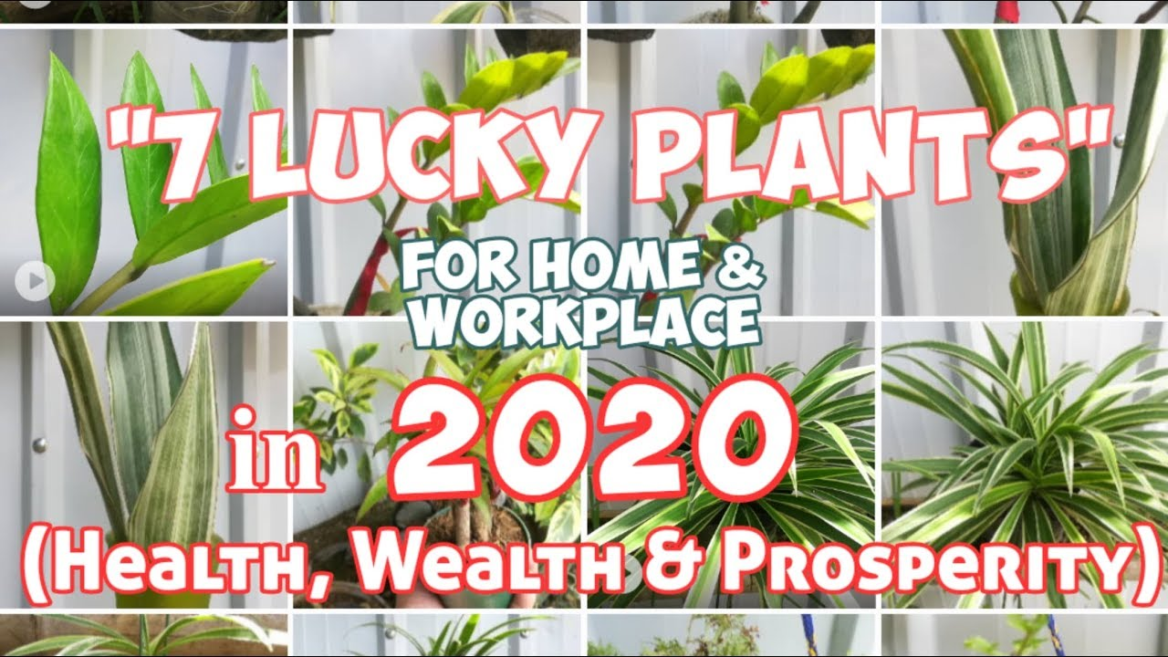 Sansevieria Plant Feng Shui 7 lucky plants for home & workplace in 2020 (health, wealth & prosperity)