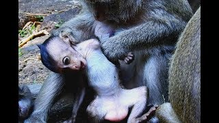 Pity poor baby monkey weakness try escape from Dolly do bad on her, Baby cry loudly/Wild monkey