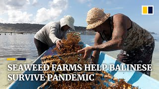 Bali locals turn to seaweed farming after losing tourism jobs to Covid-19 pandemic